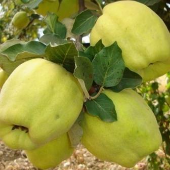 Cais, piersic, nectarin, migdal, cires, visin- Pomifructiferi.com