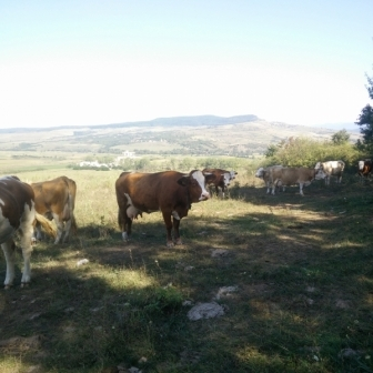 Lichidez ferma de vaci