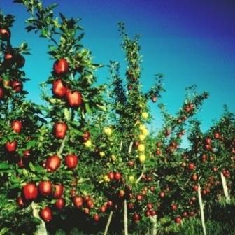 Pomi fructiferi altoiti, Nuci altoiti de vanzare