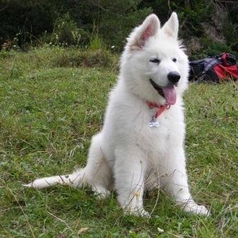 Raritate, lupi albi pui de vanzare