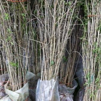 Vand pomi Goji, arbusti Goji, plante Goji