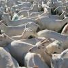 100 capre saanen fatate 250 euro