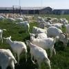 100 capre saanen cu acte de origine, fatate 250 euro au intre 1,5 ani si 2 ani
