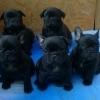 Bulldog Francez cu pedigree