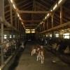 Ferma vaci -Luxemburg