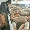Ferme de porci germania