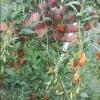 Goji Berry plante, seminte, fructe proaspete