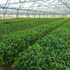 Înființăm Plantații Pomicole ! Furnizăm Plantele Dumneavoastră de Alun