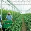 Muncitori agricultura Germania-1200Euro
