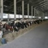 Muncitori ferma de vaci Germania