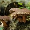Oferim spre vanzare ciuperci uscate Shiitake bio, obtinute prin permacultura