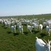 Oferta 250 euro- vand   capre  saanen cu iezi urgent.