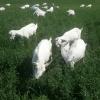 Oferta 250 euro- vand   capre  saanen cu iezi urgent.l