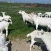 Oferta la capre saanen cu acte de origine, to