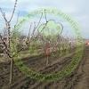 Pepiniera pomicola comercializam pomi fructiferi altoiti certificati