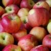 Pepiniera pomicola vindem pomi fructiferi altoiti