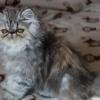 Pisici persane cu pedigree tip A, (4 generatii ale parintilor)