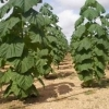 Plantatia de Paulownia pe un hectar cu doar 52 Euro pe luna