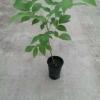 Plante de nuc