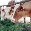 Plecare luna mai - ferma vaci Germania 1300 euro