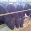Plecări urgente fermă vaci de carne Germania 1400 EURO