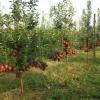 Pomi fructiferi altoiti, certificati