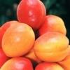 Pomifructiferi altoiti, certificati, aclimatizati pentru Romania