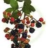 Producem si comercializam mur fara spin si toata gama de arbusti fructiferi