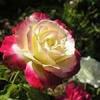 Producem si comercializam trandafiri