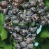 Producem si lucram vita-de-vie, soiuri de masa si soiuri de vin