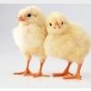 Pui de găină de o zi rase grele