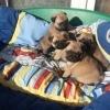 Pui Mops-Pug cu pedigree de calitate