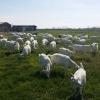 Schimb capre  saanen cu autoturisme, tractor sau utilaje agricole,