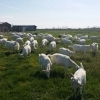Schimb capre  saanen cu tractor sau utilaje agricole,