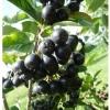 Scorus negru