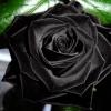 Seminte Trandafiri Negri Pachet 50 buc Livrare gratuita