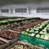 Sortare legume in hale Germania