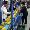 Sortare legume si fructe in hale din Germania