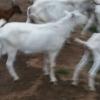 Vand 10 tapi saanen, alpin si capre saanen cu pedigree
