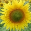 Vand 100 to floarea-soarelui recolta 2017