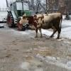 Vand 2 vaci baltata germana foarte bune de lapte (30-40litrii dupa fatare)