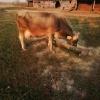 Vand 2 vaci Holstein si una Schwyz.