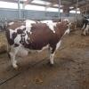 Vand 2 vaci montbeliard,3 vaci holstein cu pedigree