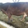 Vand 3 vaci pe lapte cu 1700 lei  bucata