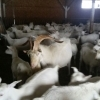 Vand 30 capre saanen pe alese, sunt pe lapte