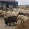 Vand 30 oi karakule brumarii si negre cu 2 berbeci maturi.