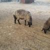 Vand 30 oi karakule brumarii si negre cu 2 berbeci