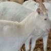 Vand 30 capre saanen si tapi saanen cu pedigree