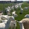 Vand  capre saanen pe alese din turma cu transport la ele