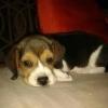 Vand catelusi Beagle vaccinati si deparazitati conform varstei. Pasaportul si mi